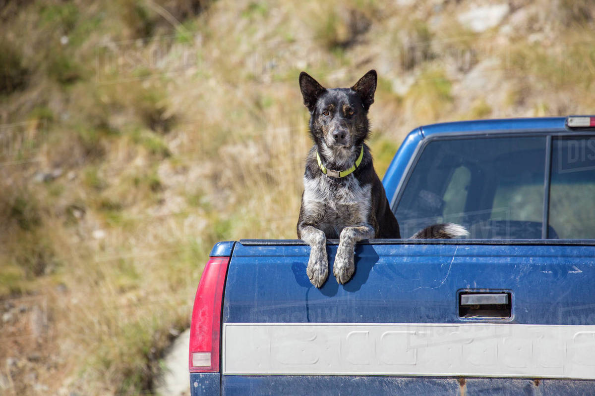 Dangers of Dogs Riding in Truck Beds