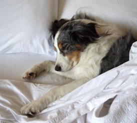 Pet Friendly Drury Hotels