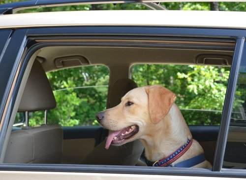 Why Dogs Love Car Rides