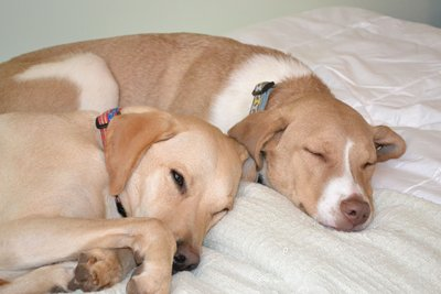 Pet Friendly Hotels - Comfort Suites