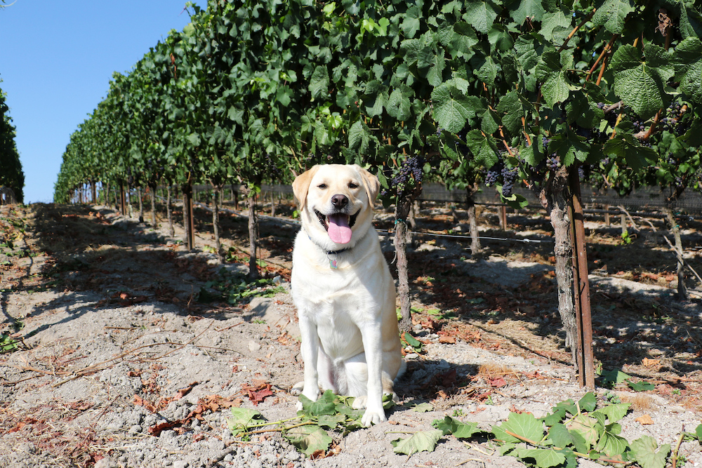 Dog Friendly Wineries